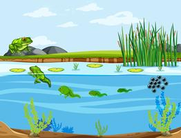 Un cycle de vie de grenouille