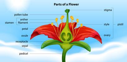Parties d'une fleur