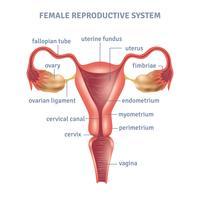 Affiche de l'utérus vecteur