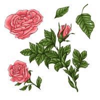 Ensemble de roses de corail. Main, dessin d'illustration vectorielle vecteur