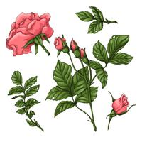 Ensemble de roses de corail. Main, dessin d'illustration vectorielle