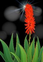 Fleur d'aloe vera sur fond noir