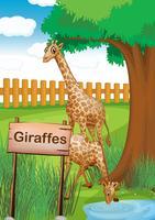 Girafes à l'intérieur de la clôture en bois