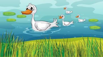 Petits canards suivant le canard mère