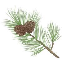 Pomme de pin. Branche d'arbre de pin isolée. Décor floral à feuilles persistantes