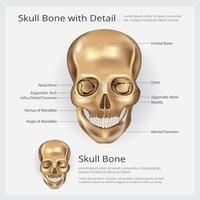 Illustration vectorielle d'anatomie de crâne d'os humain
