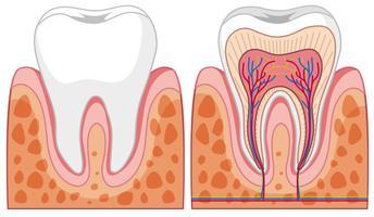 Ensemble de diagrammes de dents vecteur