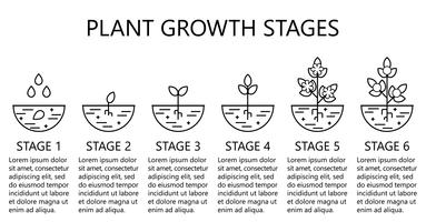 Stades de croissance des plantes infographiques. Icônes d'art au trait. Modèle d'instruction de plantation. Illustration de style linéaire isolé sur blanc. Planter des fruits, processus de légumes. vecteur