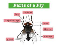 Diagramme montrant des parties de la mouche