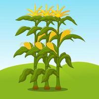 tiges de maïs avec le beau ciel