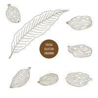 Cardamome. Ensemble dessiné à la main d'herbes cosmétiques isolé sur fond blanc. vecteur