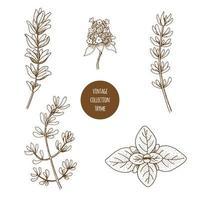 Thym. Ensemble dessiné à la main d'herbes cosmétiques et de plantes isolées sur fond blanc. vecteur