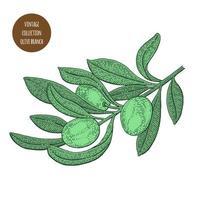 croquis de branche d'olivier vert