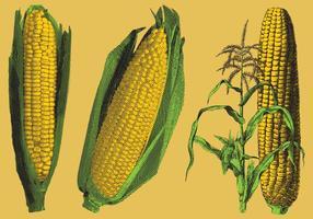 Illustrations de maïs gravées