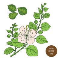 câpres plante vintage botanique design vecteur