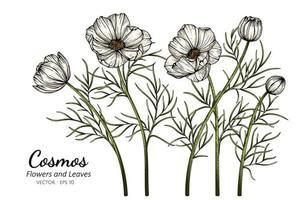 fleurs de cosmos blanc