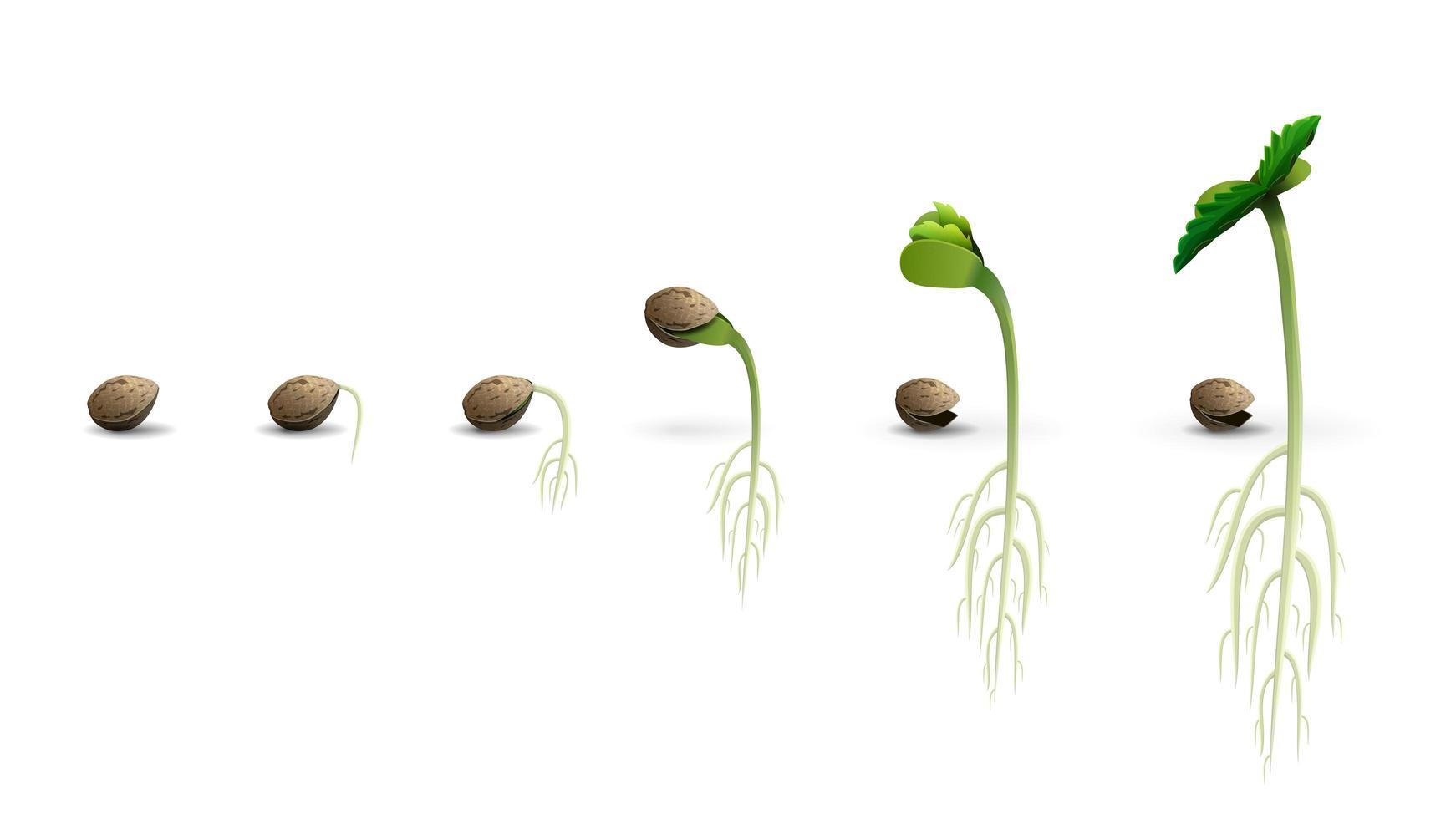 estágios da germinação de sementes de cannabis vetor