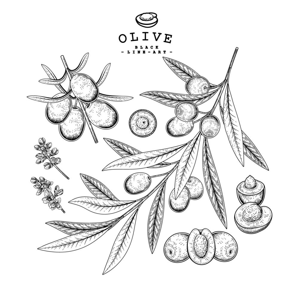 conjunto de ramos de oliveira vetor
