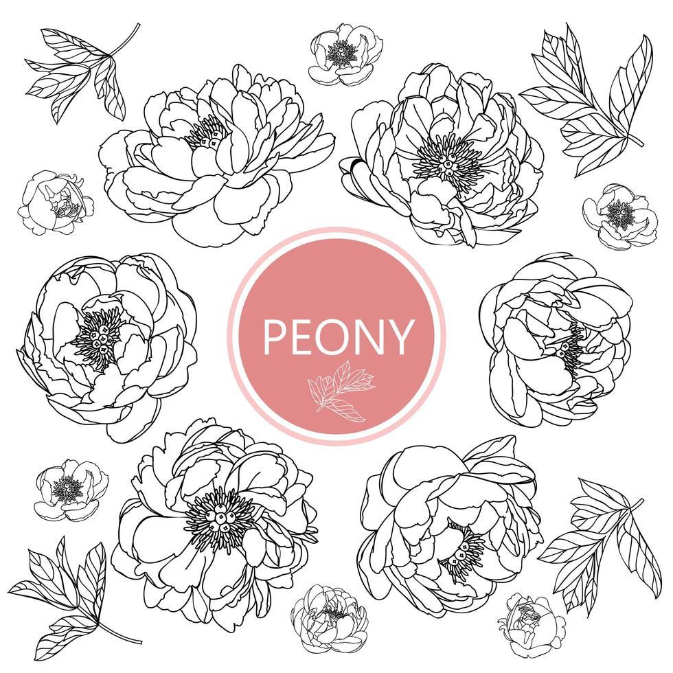conjunto de flores peônia vetor