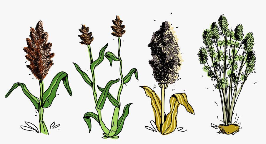 Ilustração de vetor desenhada à mão de colheita de sorgo