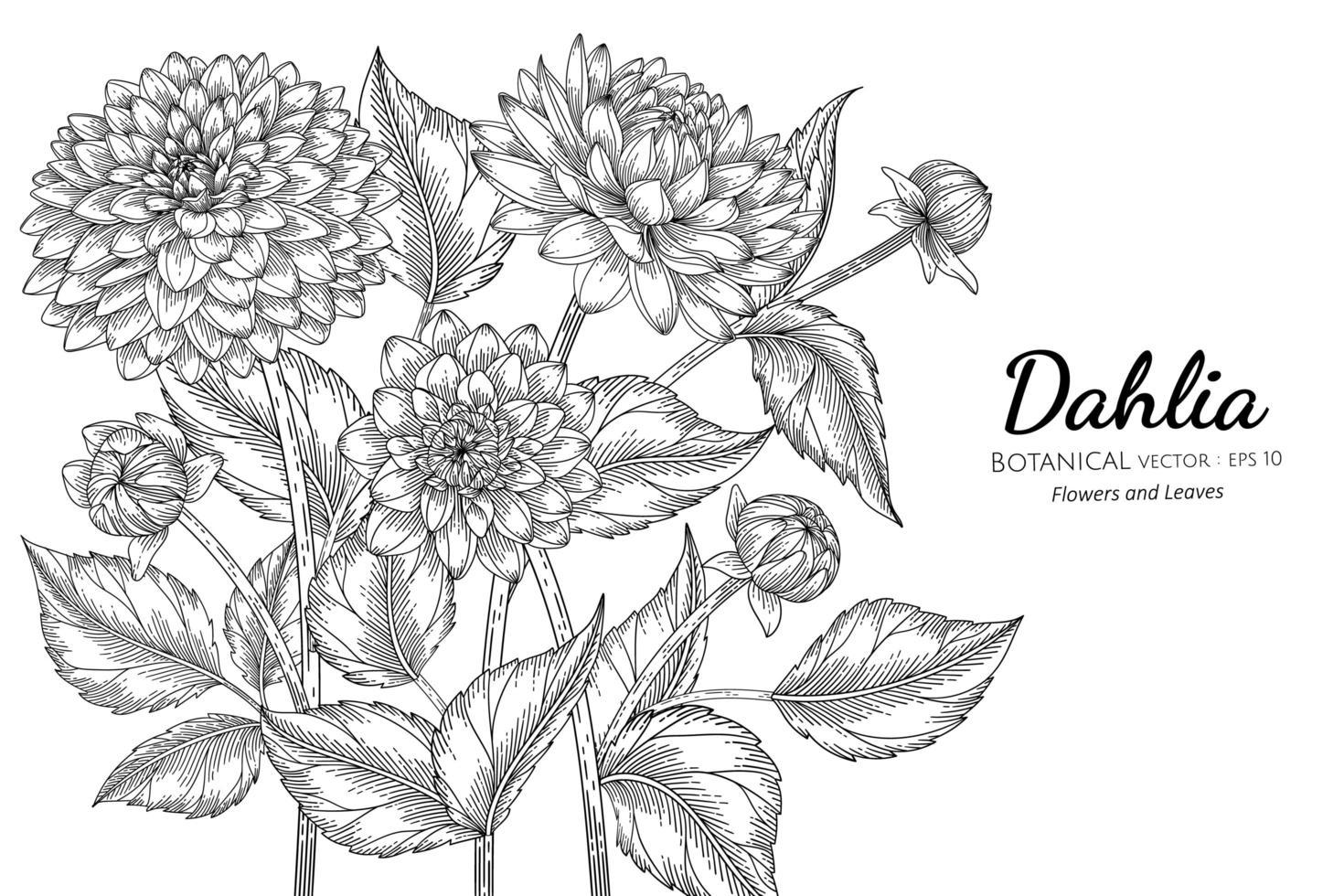folhas e flor dália mão desenhada vetor