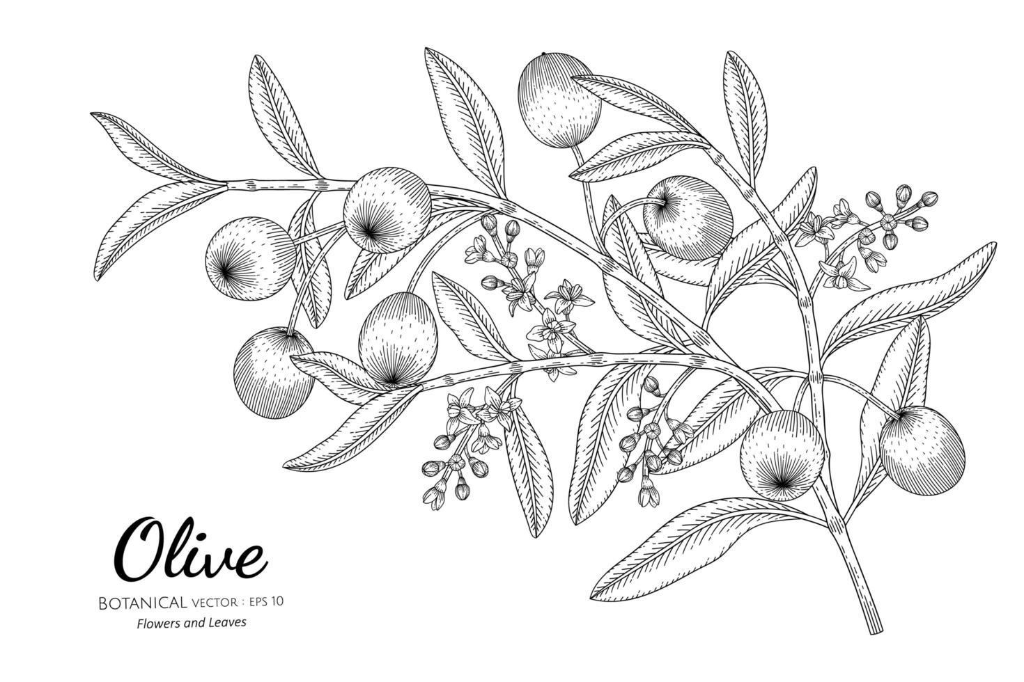 mão desenhada azeitonas e folhas linha arte vetor