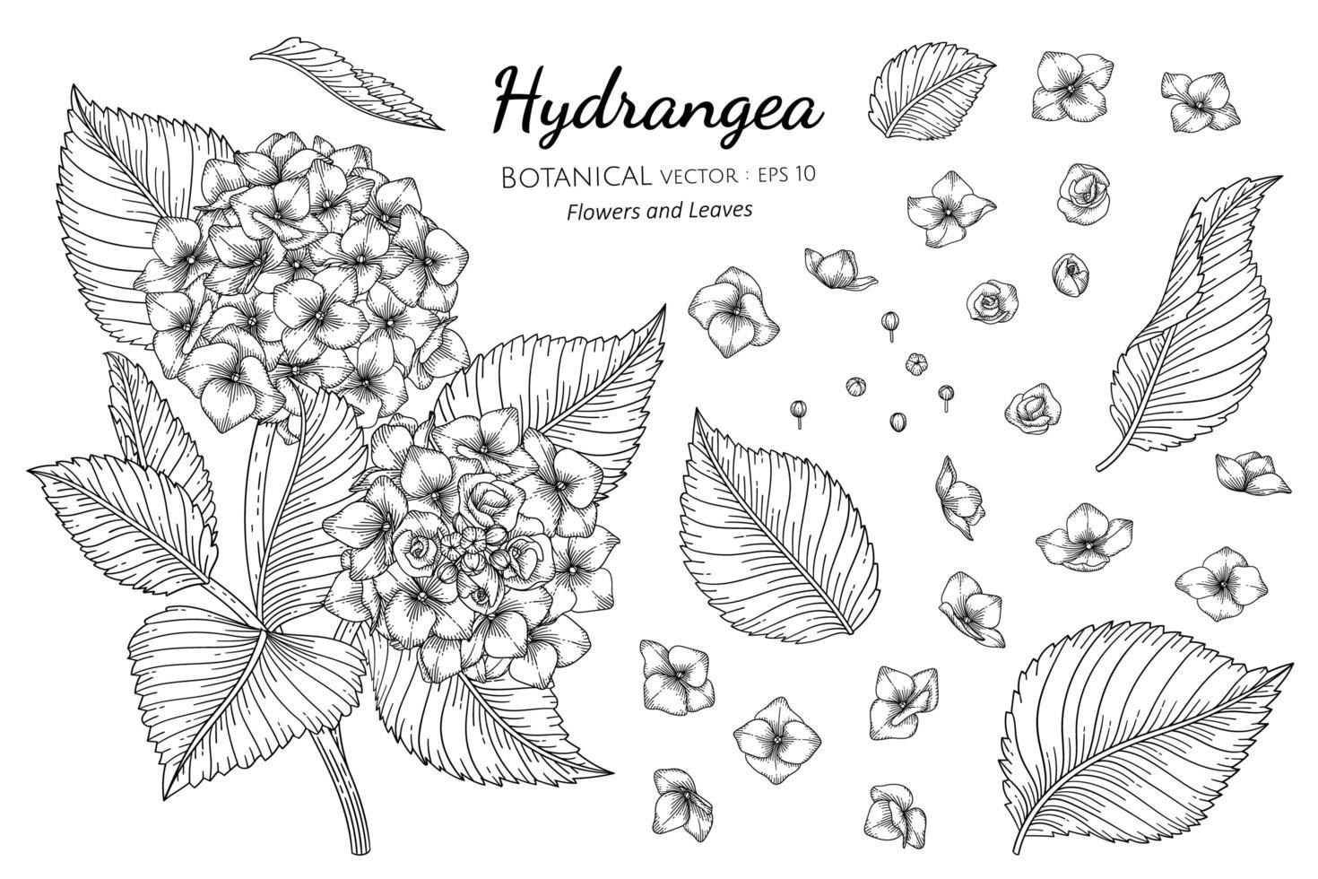conjunto de flores e folhas de hortênsia linha arte vetor