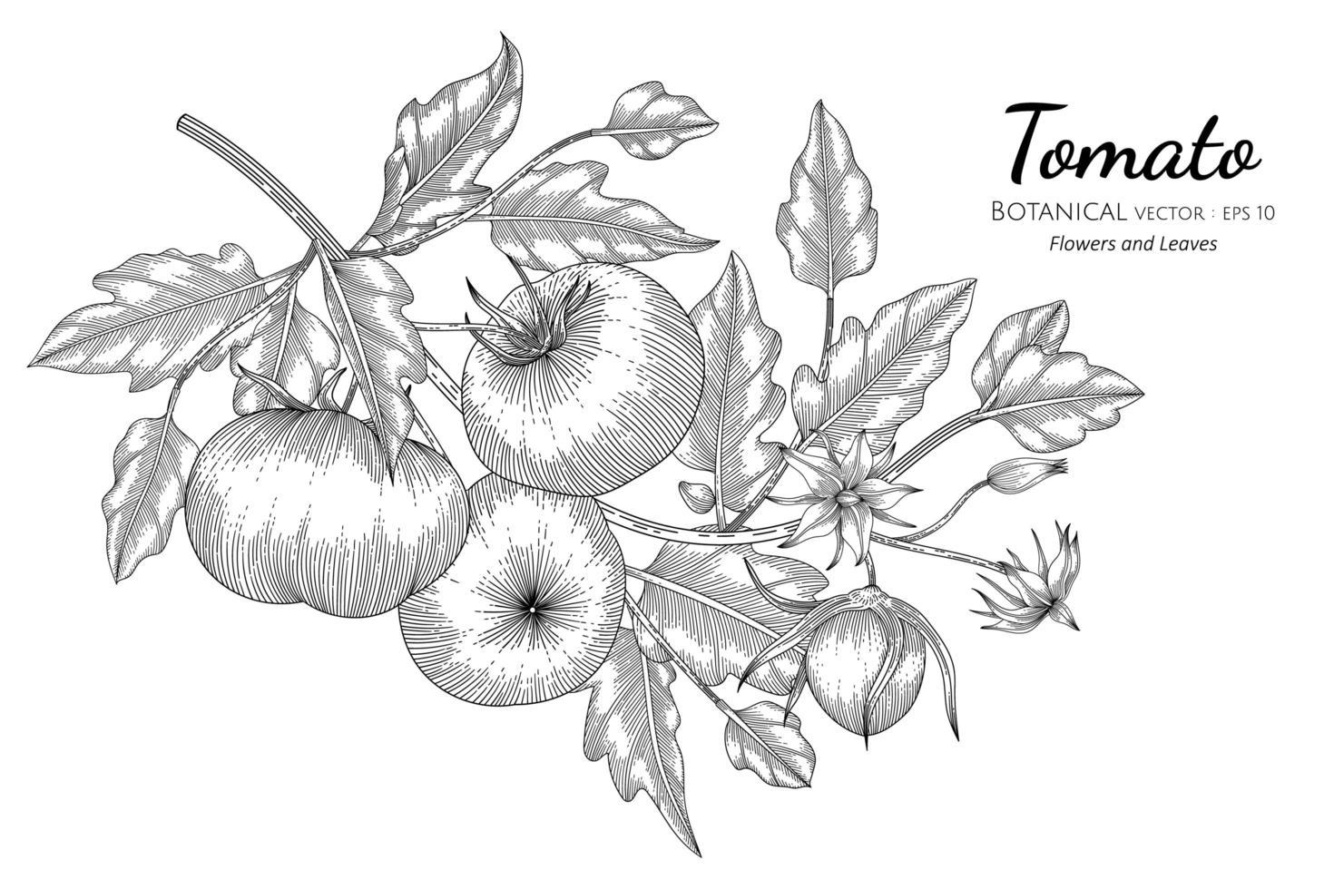 arte de linha de ramos de tomate desenhada à mão vetor
