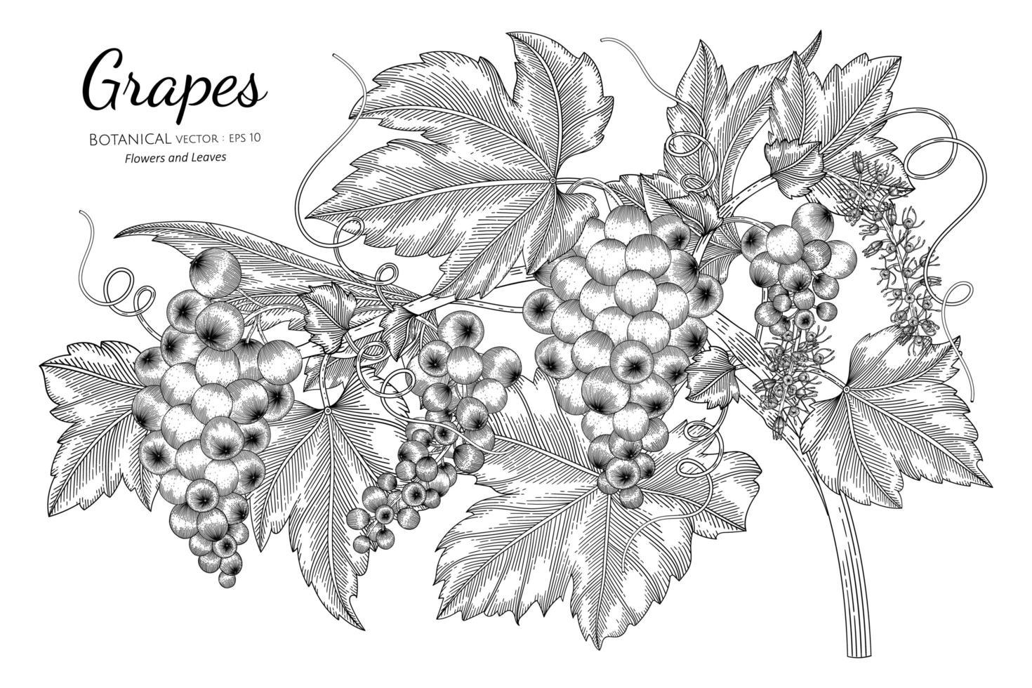 ramos de arte em linha de uva desenhada à mão vetor