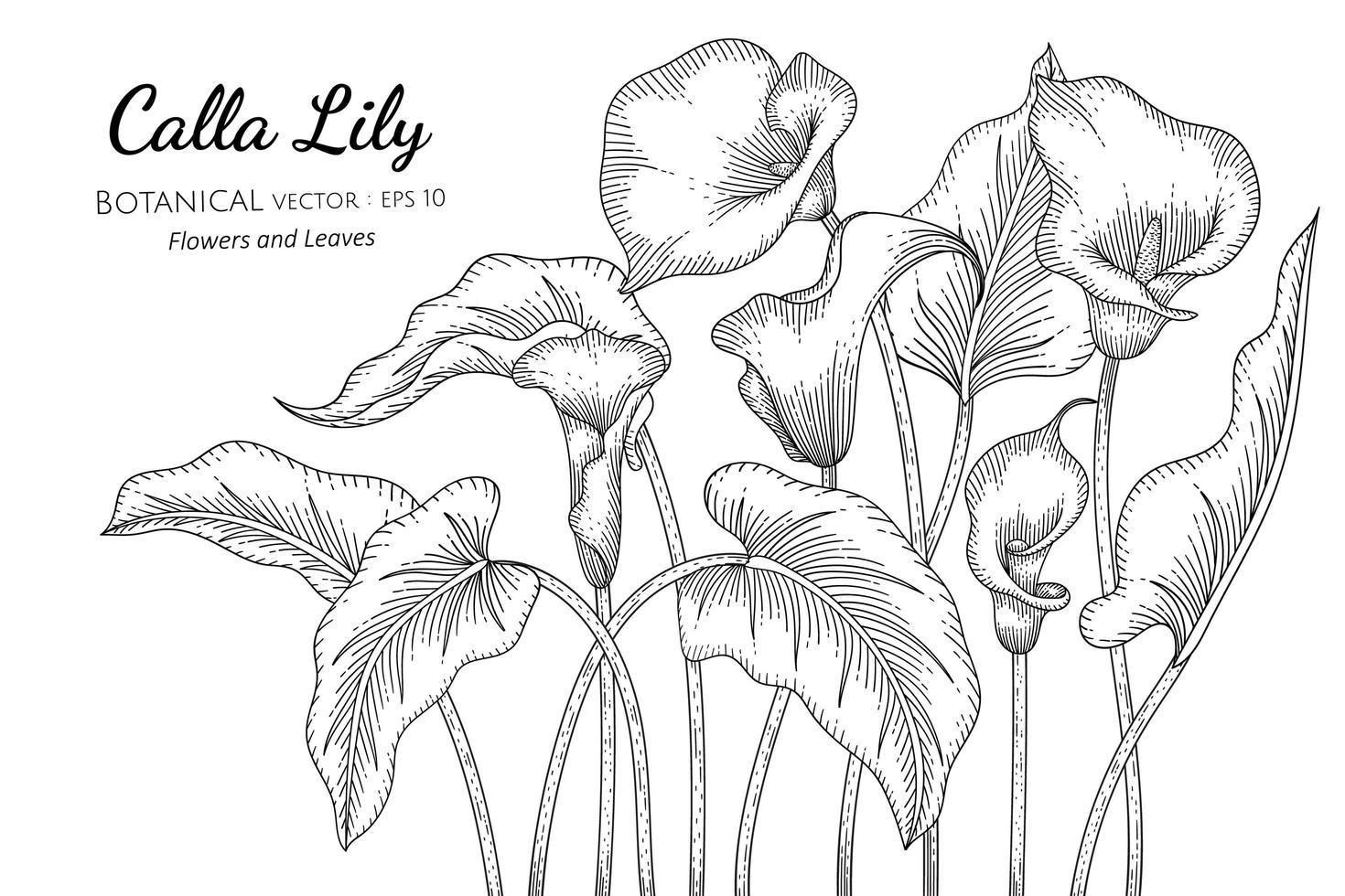 flor e folha do copo-de-leite desenhada à mão, arte de linha botânica vetor