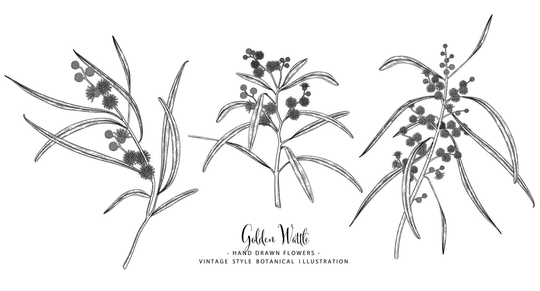 elementos desenhados à mão de acácia dourada ou acácia pycnantha vetor