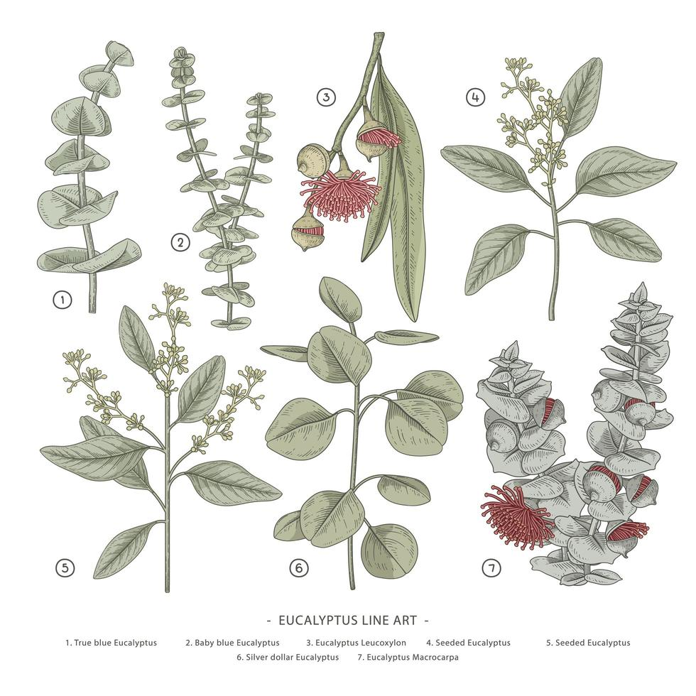 elementos de mão desenhada de ramo de eucalipto. vetor