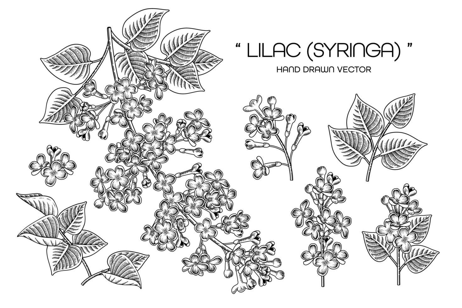 Syringa vulgaris ou vetor de elementos de desenhos de flores lilás comuns.