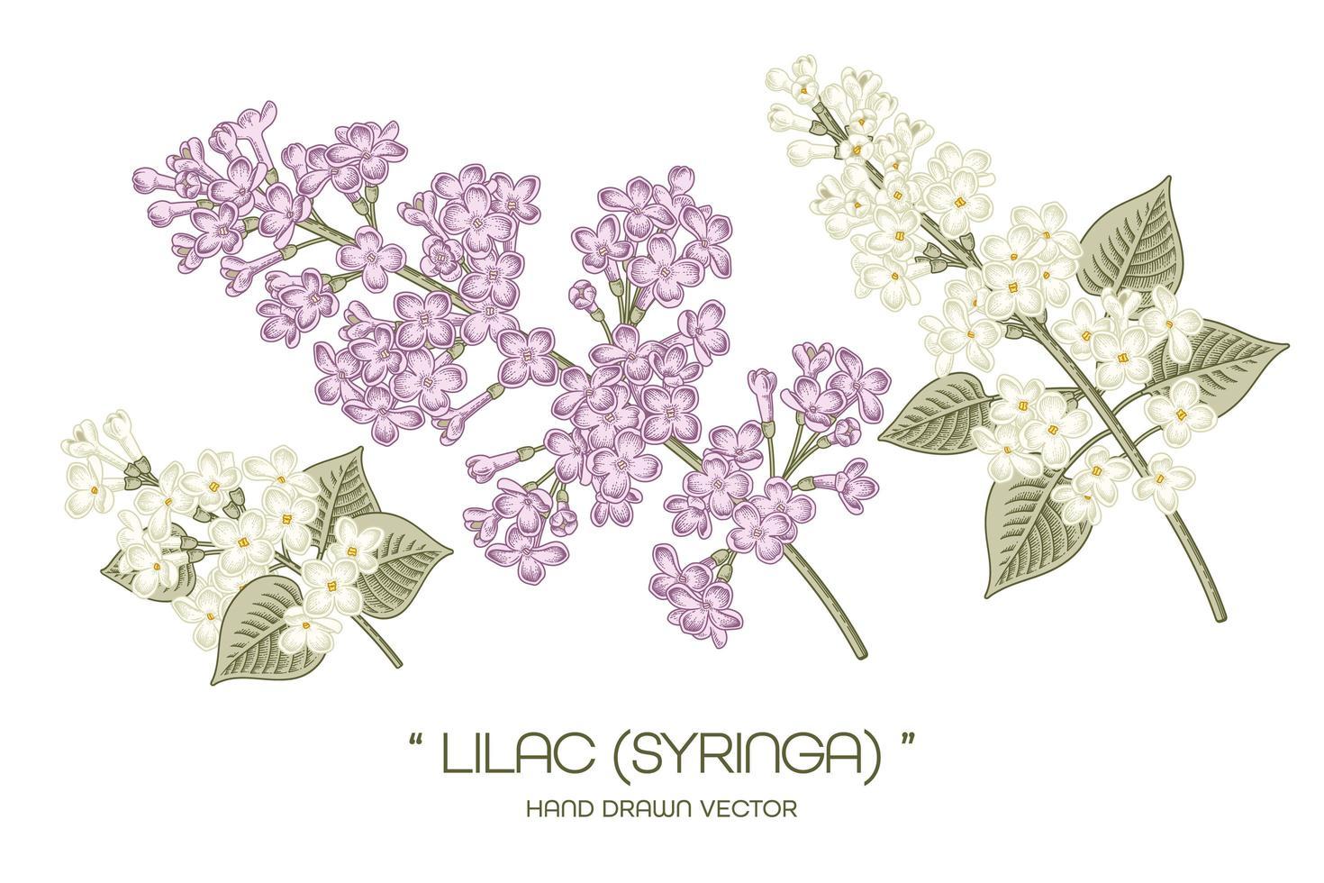 Syringa vulgaris branca e roxa ou desenhos de flores lilases comuns. vetor
