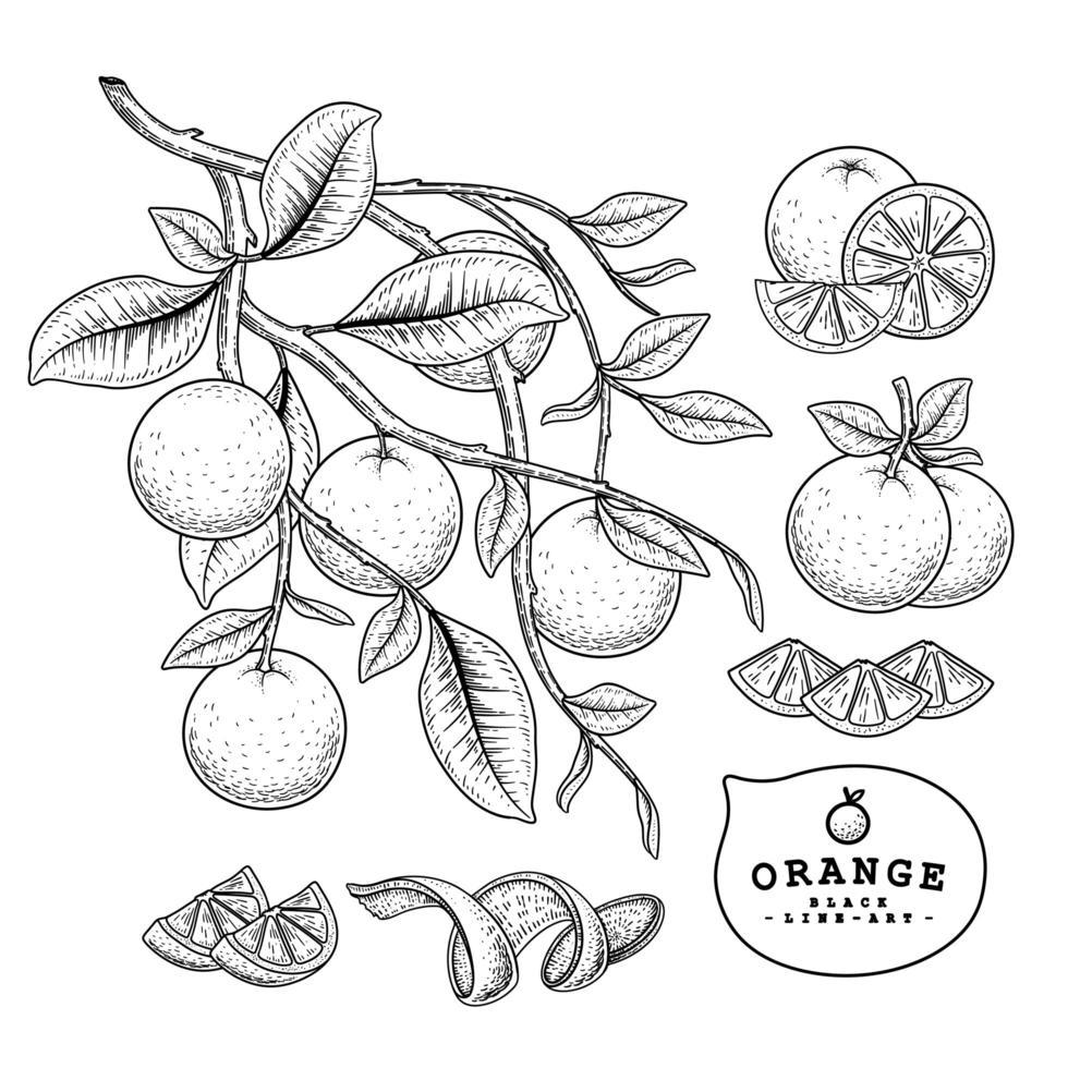 elementos de mão desenhada de frutas cítricas laranja. vetor