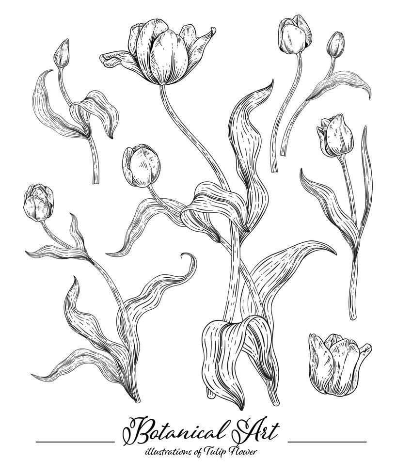 elementos desenhados à mão de flor de tulipa vetor