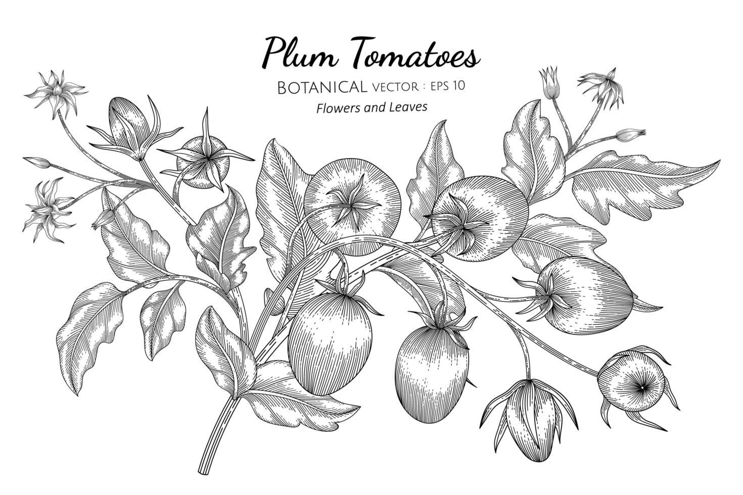 ameixa tomate desenhado à mão ilustração botânica com arte em fundo branco vetor