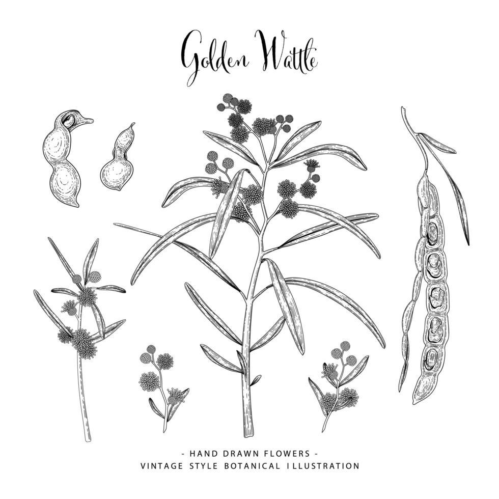 mão desenhada wattle dourada ou acácia pycnantha elemento decorativo conjunto. vetor