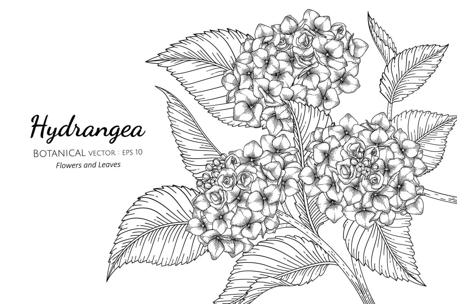 flor de hortênsia e ilustração botânica desenhada à mão com arte de linha no fundo branco vetor