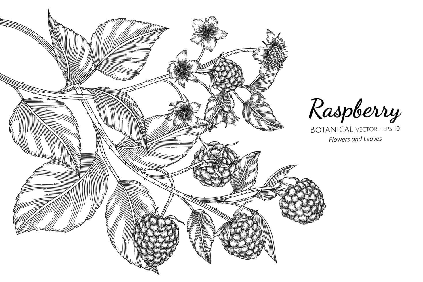 framboesa desenhada à mão ilustração botânica com arte em fundo branco vetor