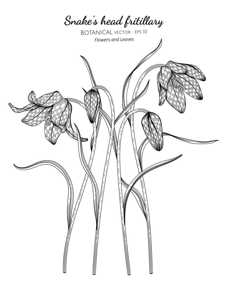 flor e folha fritilar de cabeça de cobra desenhada à mão ilustração botânica com arte de linha em fundos brancos vetor