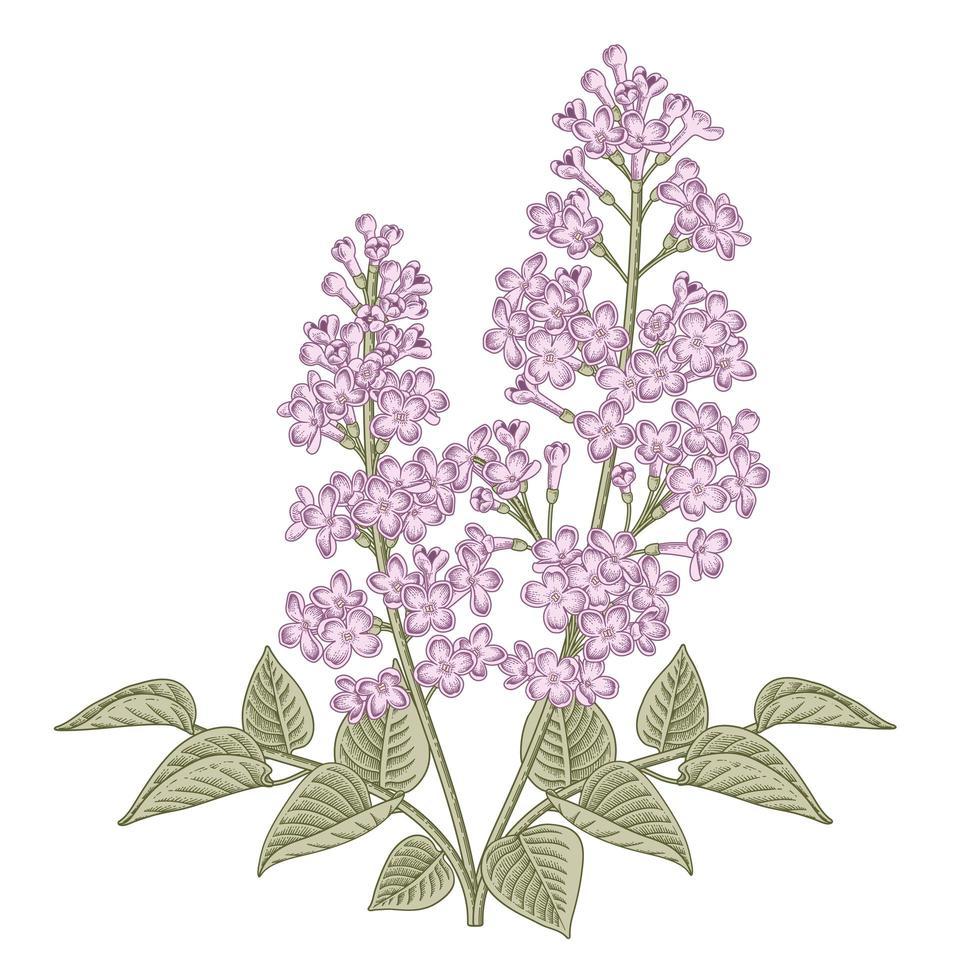 Syringa vulgaris branca e roxa ou ilustrações botânicas de mão de flor lilás comum. vetor