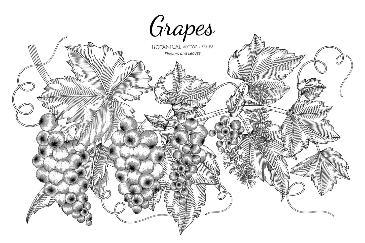 uvas frutas desenhadas à mão ilustração botânica com arte em fundo branco vetor