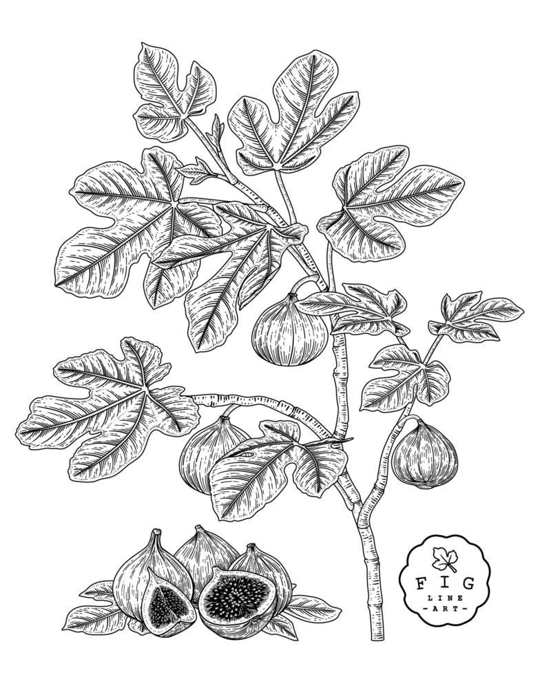 fig frutas desenhadas à mão ilustrações botânicas. vetor