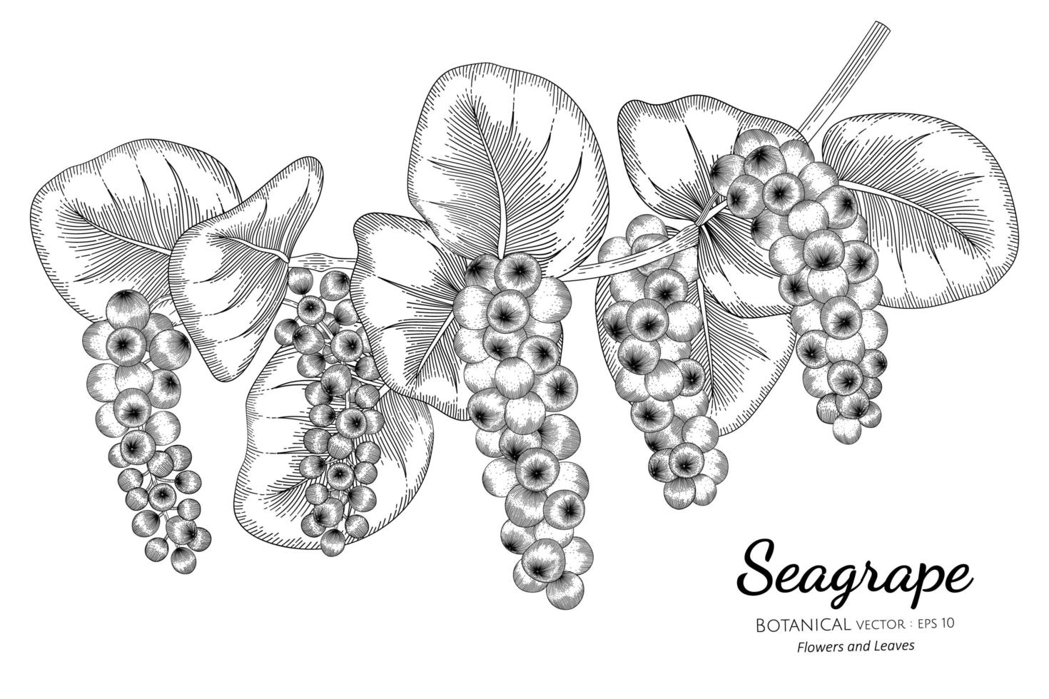 seagrape fruit desenhado à mão ilustração botânica com arte de linha no fundo branco vetor