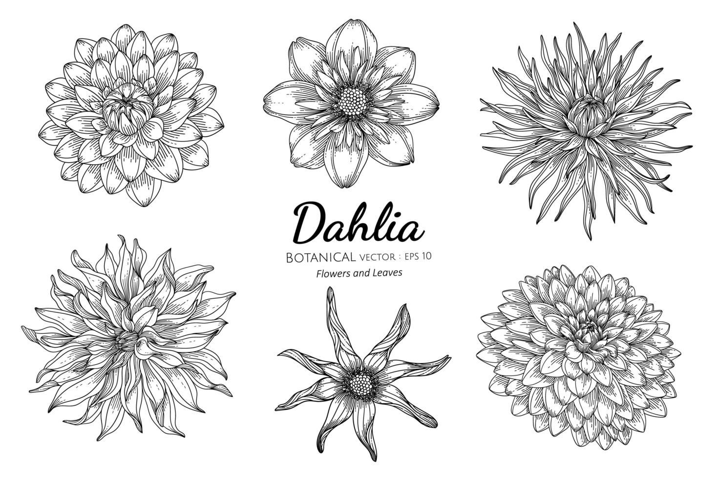 conjunto de dália flor e folha desenhada à mão ilustração botânica com arte de linha em fundo branco vetor