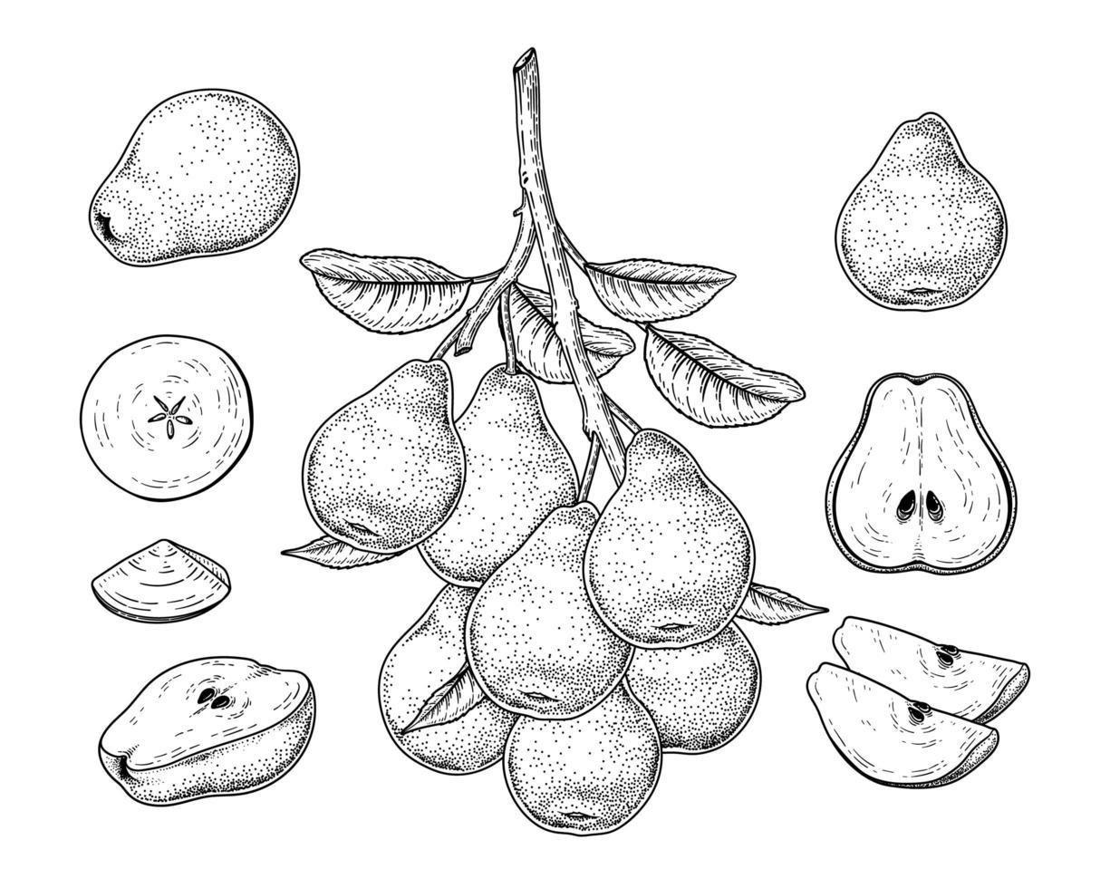 pêra fruta elemento ilustrações desenhadas à mão botânicas. vetor