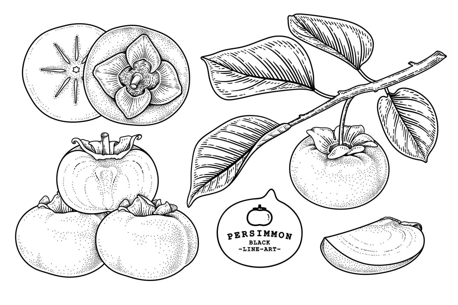 conjunto de fuyu caqui fruta mão desenhada elementos ilustração botânica vetor