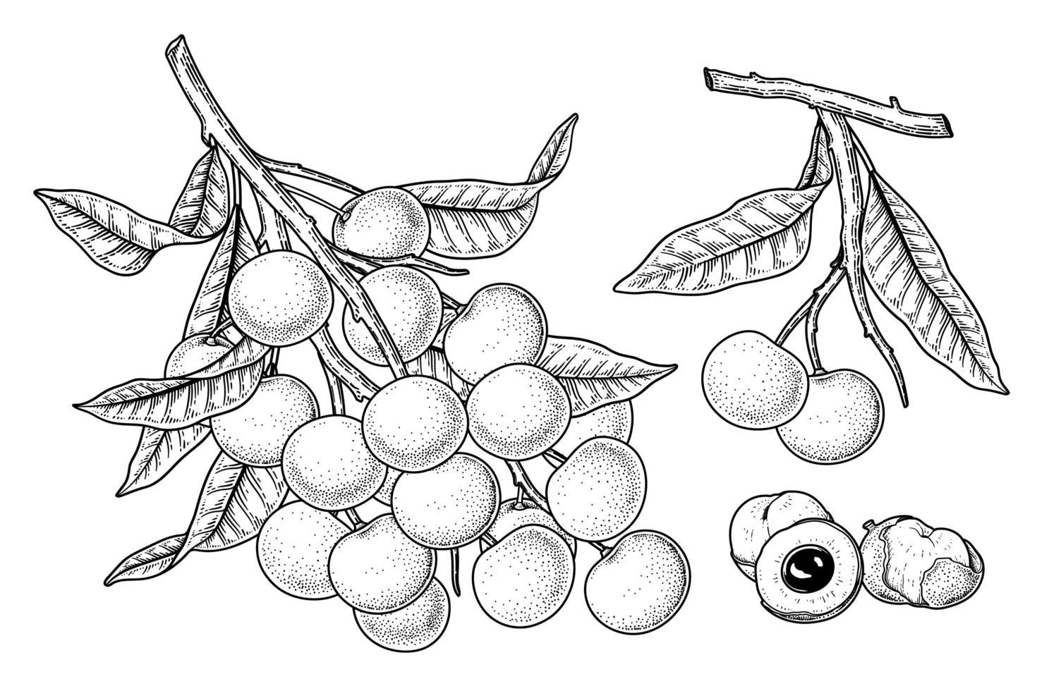 conjunto de dimocarpus longan fruta mão desenhada elementos ilustração botânica vetor
