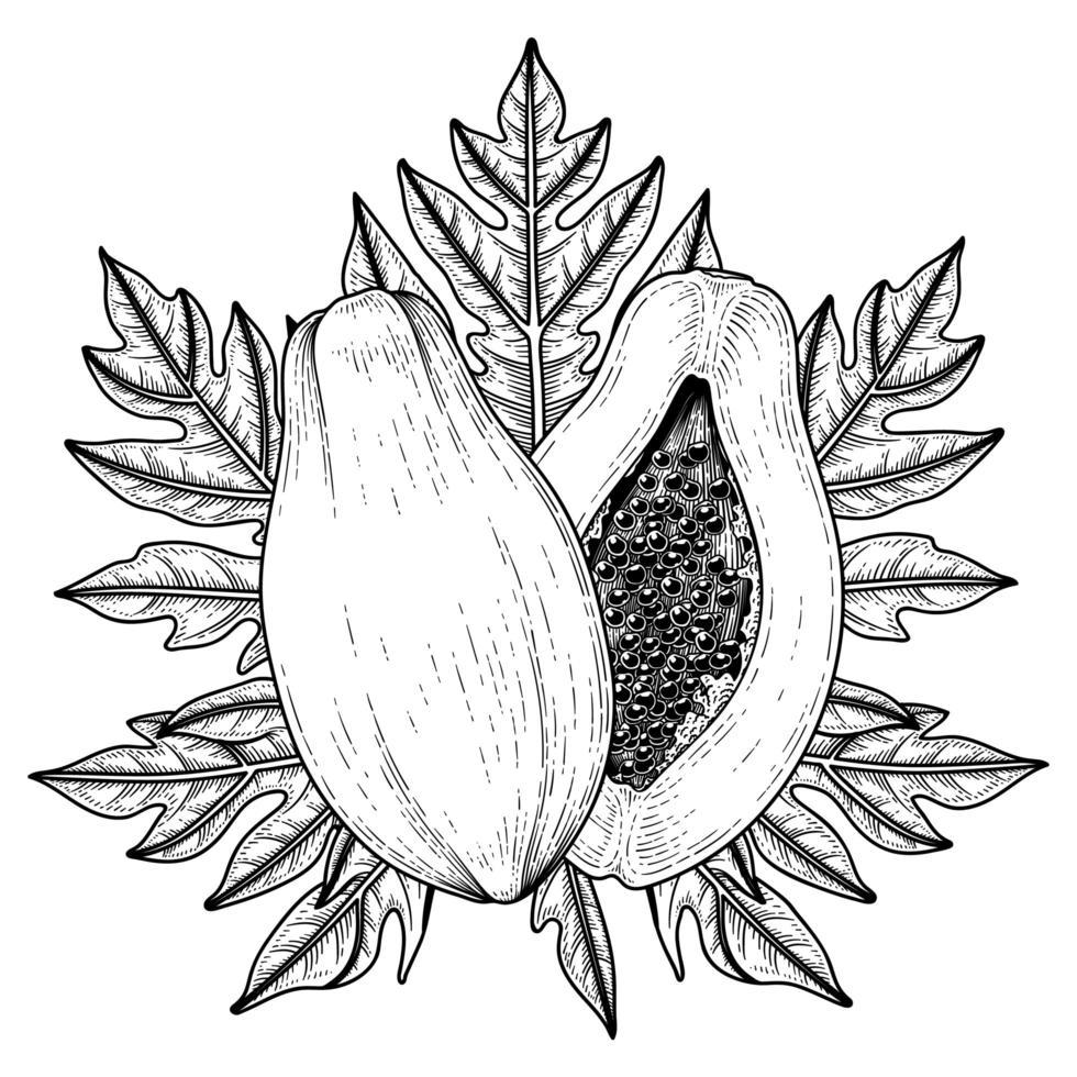 conjunto de elementos de mão desenhada de mamão ilustração botânica vetor